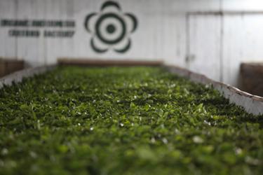 世界一の紅茶農園マカイバリ茶園